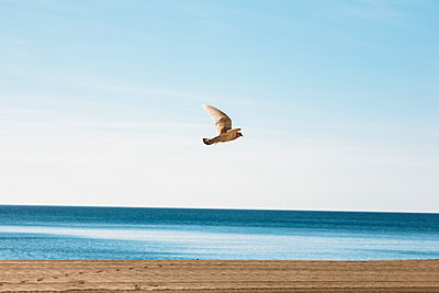 Seagull at flight - p1085m1477265 by David Carreno Hansen