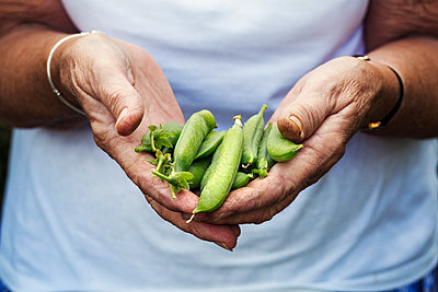 A person holding a handful of fresh picked garden pea pods.  - p1100m1178024 by Mint Images