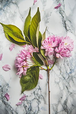 Pink blossoms on grey background - p312m2051839 by Malin Kihlstrom
