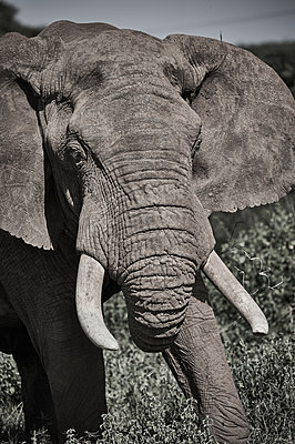 Portrait of single elephant, Kenya - p706m2158411 by Markus Tollhopf
