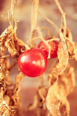 Trockene Blätter und rote Tomate - p900m1222106 von Michael Moser