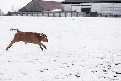 Kühe auf der Weide im Schnee - p739m779158 von Baertels