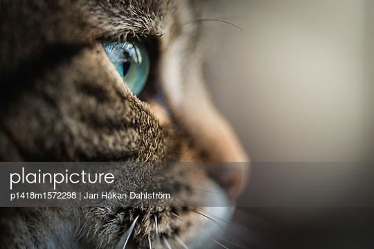 Close-up of green-eyed cat - p1418m1572298 by Jan Håkan Dahlström