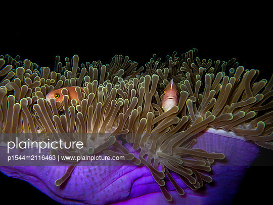 Anemone fishes - p1544m2116463 by