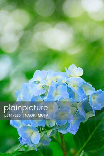 Hydrangea flower, close up, differential focus