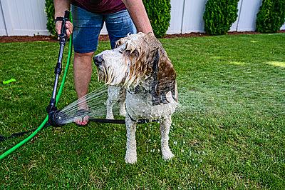 Woman washing dog on grass - p1427m2146705 by Dermot Conlan