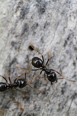Ameisen - p417m932749 von Pat Meise