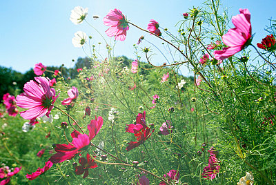 Common garden cosmos Sweden - p5750085f by Kate Karrberg