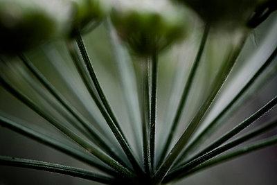 Blütenstand I - p1113m902031 von Colas Declercq