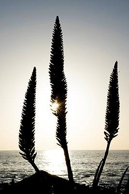 Aloe mit Blüten im Gegenlicht - p451m1119118 von Anja Weber-Decker