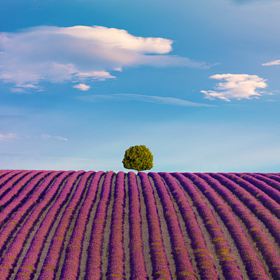 France, Provence Alps Cote d'Azur, Haute Provence, Valensole Plateau, single tree and Lavender Field - p651m2152408 by Shaun Egan photography