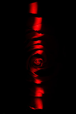 sliver of light over red rose flower with black background - p919m2204172 by Beowulf Sheehan
