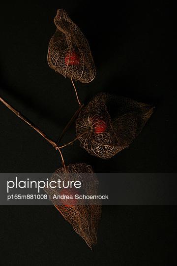Physalis - p165m881008 by Andrea Schoenrock