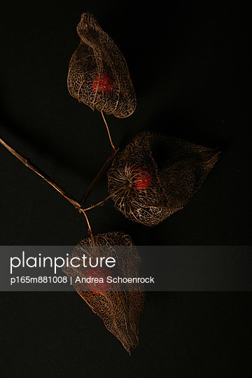 Lampionblume - p165m881008 von Andrea Schoenrock