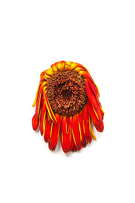 Dead orange, red, and yellow gerbera daisy flower photographed against lime green background in studio - p919m2206453 by Beowulf Sheehan