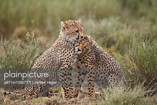 Cheetah  cubs, Serengeti National Park, Tanzania, East Africa, Africa - p871m1056777f by James Hager
