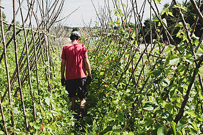 Rear view of farmer walking along rows of runner beans. - p1100m2271474 by Mint Images