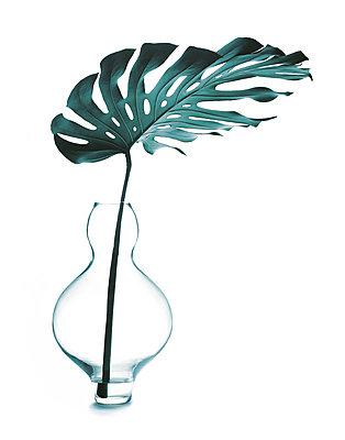 Philodendron Blatt in einer Vase, Pflanze - p1316m1161141 von Robert Striegl