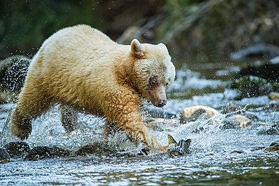 Kermode Bear (Ursus americanus kermodei), also known as the Spirit Bear, fishing in the Great Bear Rainforest; Hartley Bay, British Columbia, Canada - p442m2008911 by Robert Postma