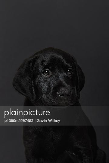 Black coloured Labrador Retriever, portrait - p1090m2297483 by Gavin Withey