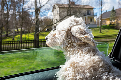 Dog looking through car window - p312m1470399 by Malcolm Hanes
