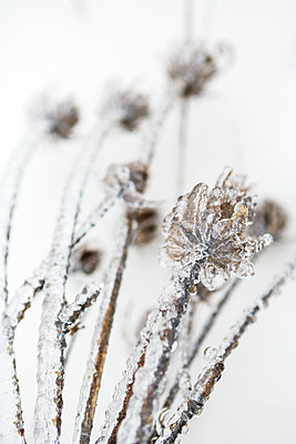 Close-up of ice formations on a plant in winter - p442m1442451 by Colleen Cahill