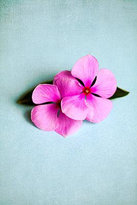 Rosa Blumen - p1248m1503221 von miguel sobreira