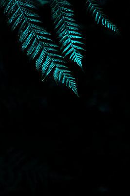 Drei Farnblätter vor schwarzem Hintergrund - p1655m2289518 von lindsay basson