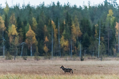Wolf  at the edge of the forest - p1241m2100370 by Topi Ylä-Mononen