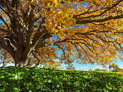 Tree with yellow leaves during autumn - p1427m2038153 by WalkerPod Images