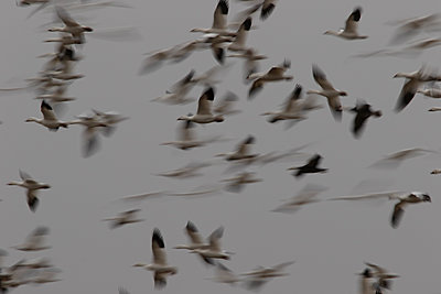 Large flock of Snow Geese flying together - p1480m2148248 by Brian W. Downs