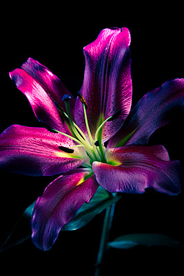 A large lily flower fully open  - p1057m1488623 by Stephen Shepherd
