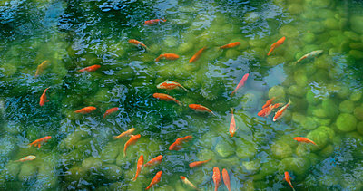 Koi fish in pond with reflections, Tokyo, Japan - p343m2028887 by Per-Andre Hoffmann