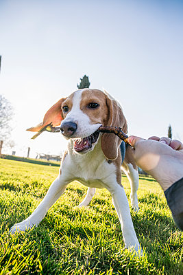 Dog biting stick from woman hand in park - p300m2264390 by Andrés Benitez