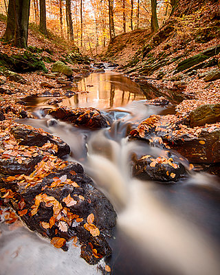 European Beech leaves in creek in autumn, Ardennes, Belgium - p884m1356917 by Bendiks Westerink/ Buiten-beeld