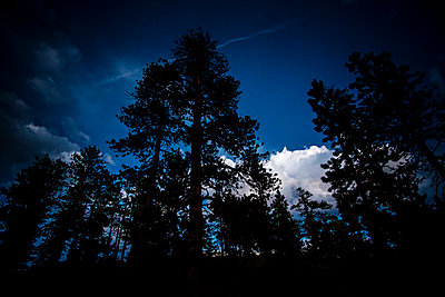 Large old pine tress towering overhead in the evening twilight with blue sky and white clouds - p1057m1466790 by Stephen Shepherd