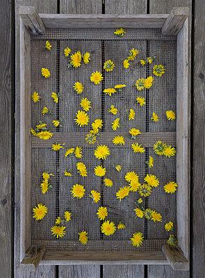 Blüten trocknen - p1657m2284957 von Kornelia Rumberg