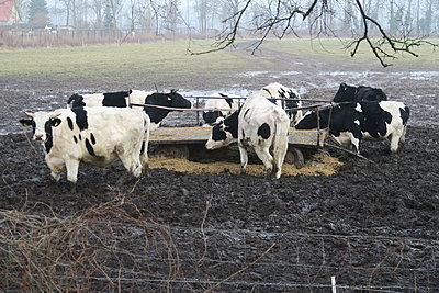 Kühe an der Krippe - p347m1591211 von Georg Kühn
