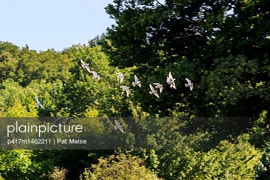 weiße Taube - p417m1462211 von Pat Meise