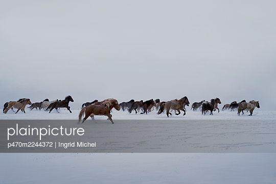 Icelandic horses running in the snow  - p470m2244372 by Ingrid Michel