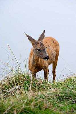 Young deer - p248m739468 by BY