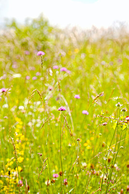 summer meadow - p382m1158762 by Anna Matzen