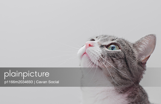 Close-up cat looking away while sitting against white background - p1166m2034693 by Cavan Social