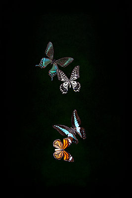 Butterflies in front of black background - p1248m2281048 by miguel sobreira