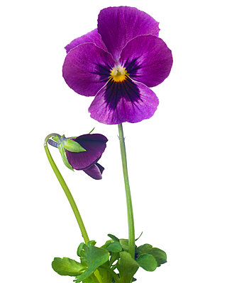 Violet Pansy against White Background - p694m2068574 by Lori Adams