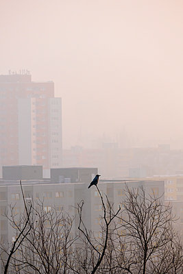 Single crow in the fog early in the morning - p739m1119392 by Baertels