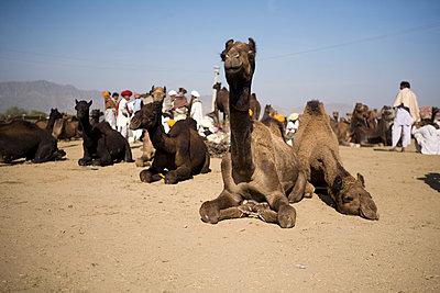 Animal Market in Rajasthan VII - p817m787946 by Daniel K Schweitzer