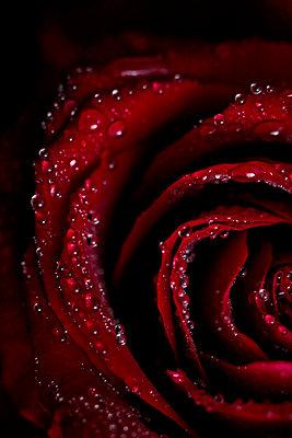Rose - p916m1171216 von the Glint