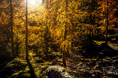 Yellow Larch trees on Autumn day - p968m1028399 by Roberto Pastrovicchio