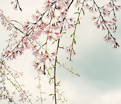 Cherry blossoms - p989m953114 by Gine Seitz